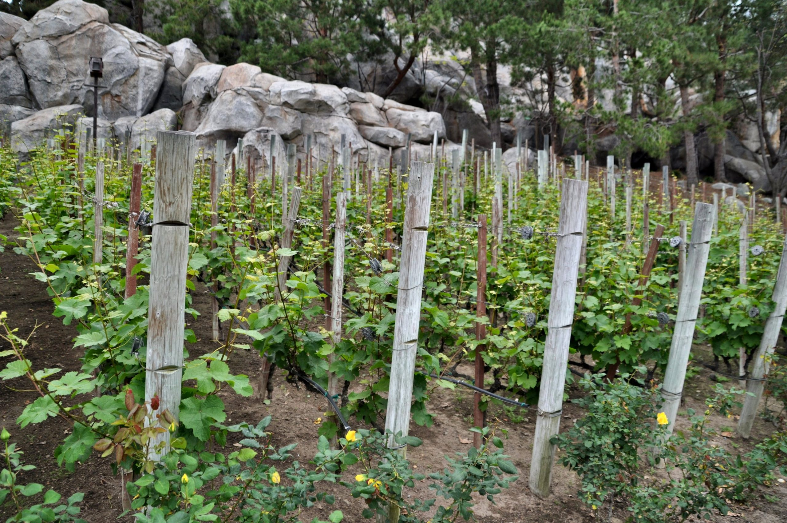 the vineyards at wine country trattoria at disney california adventure